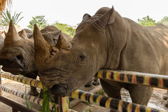 Head white rhino. Munching grass in a zoo Royalty Free Stock Images