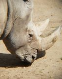 Head of white rhino in a zoo. Mammal and herbivorous, species threatened, animal with grey skin and with two horns, originating in the African savanna Stock Photos