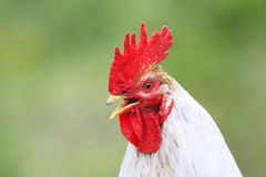 Head white rooster with a red crest crows in the summer Royalty Free Stock Photography