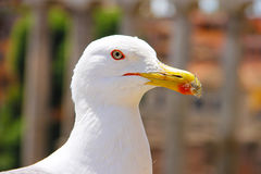 The head of a white seagull with a red stroke around the eye and the beak, and which has stuck down. The photo was made in Rome. Stock Image