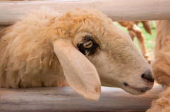 Head of white sheep, Thailand Stock Images