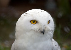 Head of white Snowy Owl Royalty Free Stock Images