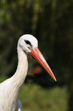 Head of white stork Royalty Free Stock Photography