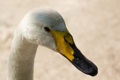 Head of a white swan stock image