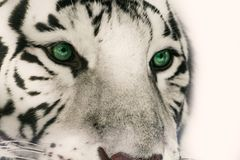 Head white tiger with significant green eyes. Detail face white tiger on the white background Stock Image