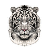 The head of the white tiger sketch vector graphics Stock Photos