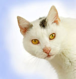 Head of a white tomcat Royalty Free Stock Images