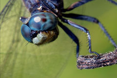 Head of wild blue dragonfly Stock Photography