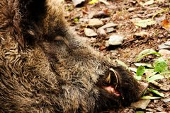 Head of wild boar Stock Photography