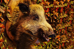 Head of wild boar. Hanging on the wall, around the maple leaves, red, yellow, green, mannequins Royalty Free Stock Photo