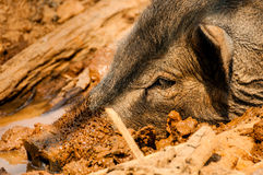 Head of Wild Boar in Mud Stock Photography