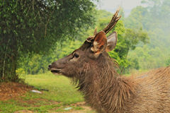 Head of wild dear looking on left. In National Park in Thailand royalty free stock photo