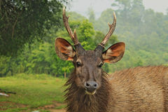 Head of wild dear looking straight. In National Park in Thailand royalty free stock photos