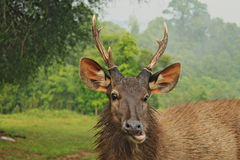Head of wild dear with smiling face. Looking directly at you. Background National Park in Thailand royalty free stock photos