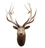 Head of wild deer and horn in fiordland national park new zealan Stock Image