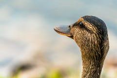 Close-up of a wild female Mallard duck, a summer morning. Head of a wild female Mallard duck Stock Photos