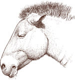 Head of a wild horse Royalty Free Stock Image