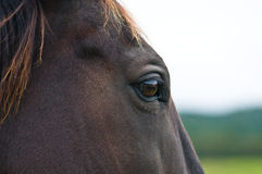 Head of a wild horse in the wilderness Stock Image