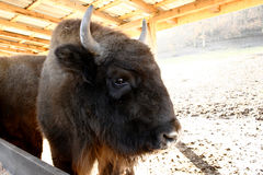 Head of wisent, the European bison. This animal is a large wild European bison stock photography