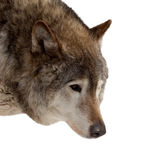 Head of wolf Stock Photography