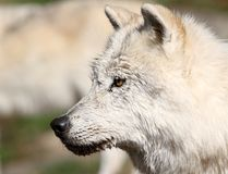 Head of wolf stock images