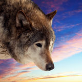 Head of wolf  against sunset Stock Photo