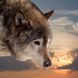 Head of wolf  against sunset sky Stock Photo