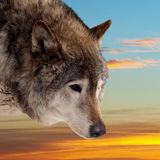 Head of wolf  against sunset Stock Images