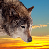 Head of wolf  against sunset Royalty Free Stock Photography