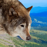 Head of wolf  against wildness. Area Stock Photo