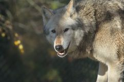 Head of Wolf Stock Image