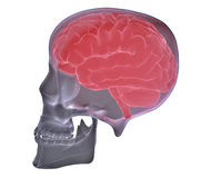 Head X-ray Royalty Free Stock Images
