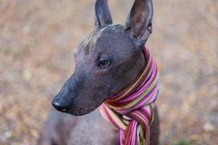The head of Xoloitzcuintle dog Mexican Hairless dog in bright stripped scarf on the autumn/fall background. royalty free stock image
