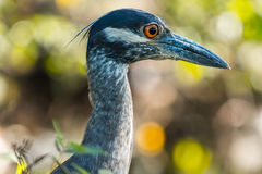 Head of the yellow crowned night heron Stock Images