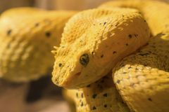 Head of yellow Eyelash Palm-Pitviper Royalty Free Stock Images