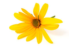Head of yellow flower Stock Images