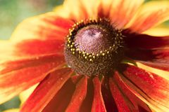 The head of yellow-red echinacea flower. Macro photo royalty free stock photos