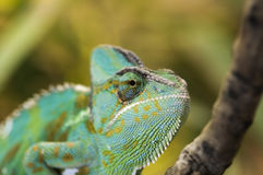 Head of yemen chameleon Royalty Free Stock Images