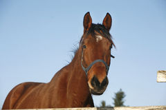 Head of a yoiung thoroughbred horse under blue sky rural scene Royalty Free Stock Photos