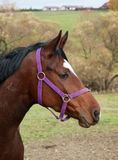 HEAD OF YOUMG MARE Royalty Free Stock Photography