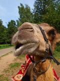 The head of a young camel Royalty Free Stock Photo