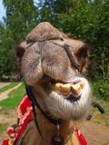 The head of a young camel Stock Photo