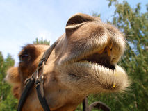 The head of a young camel Stock Image