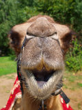 The head of a young camel Stock Images