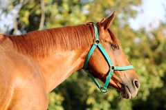 Head of a young  chestnut horse against natural background Stock Image