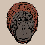 The head of a young chimpanzee Royalty Free Stock Photo