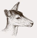Head of a young deer Stock Photography
