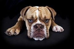 Olde english bulldog black background. Head a young english bulldog from the front, black background Stock Image