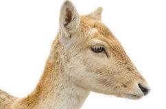 Head of a young female deer Stock Image