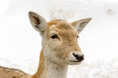Head of a young female deer Stock Images